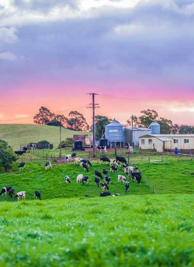 Maleny Cheese farm